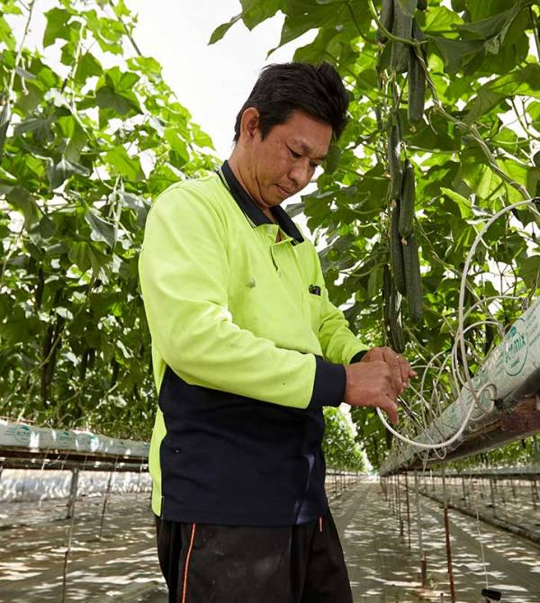 Michael Quach working with his cucumbers